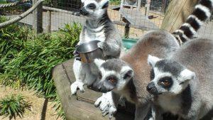 lemurs-with-bowl